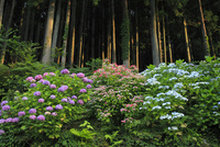 杉林のアジサイ 11076014590| 写真素材・ストックフォト・画像・イラスト素材|アマナイメージズ