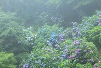 大窪寺前山のアジサイ園 11076014600| 写真素材・ストックフォト・画像・イラスト素材|アマナイメージズ