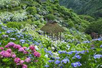 新宮のアジサイ園 11076014601| 写真素材・ストックフォト・画像・イラスト素材|アマナイメージズ