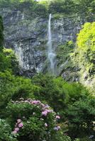 灌頂ヶ滝とアジサイ 11076014608| 写真素材・ストックフォト・画像・イラスト素材|アマナイメージズ