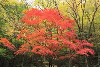 小田深山の紅葉 11076014619| 写真素材・ストックフォト・画像・イラスト素材|アマナイメージズ