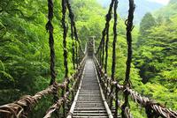新緑の奥祖谷かずら橋 11076014658| 写真素材・ストックフォト・画像・イラスト素材|アマナイメージズ