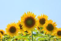 ヒマワリの花 11076014662| 写真素材・ストックフォト・画像・イラスト素材|アマナイメージズ