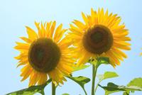 ヒマワリの花 11076014663| 写真素材・ストックフォト・画像・イラスト素材|アマナイメージズ