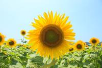 ヒマワリの花 11076014664| 写真素材・ストックフォト・画像・イラスト素材|アマナイメージズ