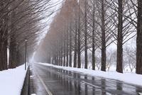雪降るメタセコイヤ並木 11076015150| 写真素材・ストックフォト・画像・イラスト素材|アマナイメージズ