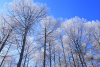 霧氷と青空 11076015309| 写真素材・ストックフォト・画像・イラスト素材|アマナイメージズ
