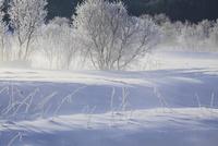 松川河畔の霧氷