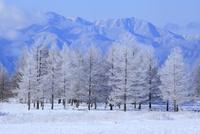 霧ヶ峰高原の霧氷 11076015330| 写真素材・ストックフォト・画像・イラスト素材|アマナイメージズ