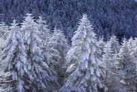 霧ヶ峰高原の霧氷 11076015335| 写真素材・ストックフォト・画像・イラスト素材|アマナイメージズ