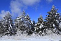 霧ヶ峰高原の樹氷 11076015336| 写真素材・ストックフォト・画像・イラスト素材|アマナイメージズ