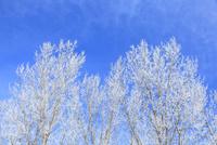 霧氷と青空 11076015380| 写真素材・ストックフォト・画像・イラスト素材|アマナイメージズ