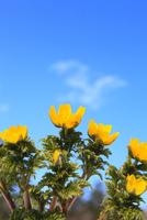 フクジュソウの花と青空