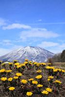 フクジュソウと残雪の北信五岳・黒姫山
