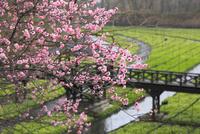 八重桜と大王わさび農場