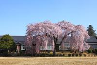 杵原学校のしだれ桜