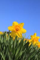 スイセンの花と青空