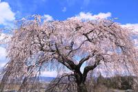 関所破りの桜 11076015520| 写真素材・ストックフォト・画像・イラスト素材|アマナイメージズ