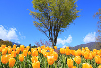 チューリップの花と緑樹