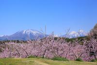 丹霞郷 モモの花と北信五岳(黒姫山・妙高山)