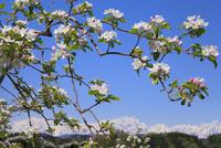 リンゴの花と北アルプス・鹿島槍ヶ岳