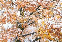 雪化粧した紅葉