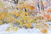 雪化粧したカエデの紅葉