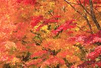カエデの紅葉 11076015661| 写真素材・ストックフォト・画像・イラスト素材|アマナイメージズ
