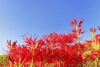 彼岸花と青空 11076015667  写真素材・ストックフォト・画像・イラスト素材 アマナイメージズ