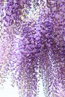 フジの花 11076015777  写真素材・ストックフォト・画像・イラスト素材 アマナイメージズ