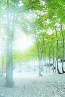 新緑のブナ林と残雪に光 11076015796| 写真素材・ストックフォト・画像・イラスト素材|アマナイメージズ