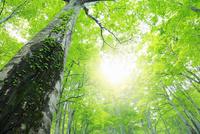 新緑のブナ林と光 11076015804| 写真素材・ストックフォト・画像・イラスト素材|アマナイメージズ