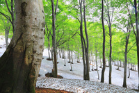 新緑のブナ林と残雪