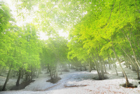 新緑のブナ林と残雪に光芒