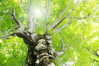 新緑のブナ林に光