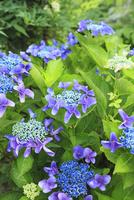 アジサイの花 11076015849| 写真素材・ストックフォト・画像・イラスト素材|アマナイメージズ