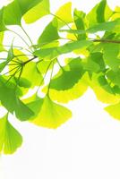 新緑のイチョウ