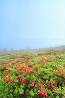 美ヶ原高原のツツジと朝もや