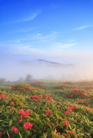 美ヶ原高原のツツジと朝もや 11076015886| 写真素材・ストックフォト・画像・イラスト素材|アマナイメージズ
