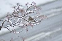 雪のナナカマドとツグミ