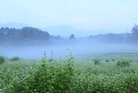 朝霧のソバ畑と鹿島槍ヶ岳