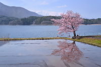 サクラと水田に青木湖