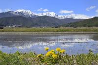 水田にタンポポの花と北アルプス(爺ガ岳・鹿島槍ヶ岳)