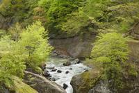 裾花川の渓流と新緑