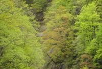 裾花川の新緑