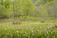 ミズバショウの花と新緑