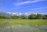 水田と新緑に白馬三山