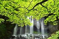 安達太良山西麓 新緑の達沢不動滝とカエデ