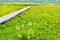 裏磐梯・雄国沼 木道にニッコウキスゲ・コバイケイソウの花