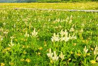 裏磐梯・雄国沼 ニッコウキスゲ・コバイケイソウの花